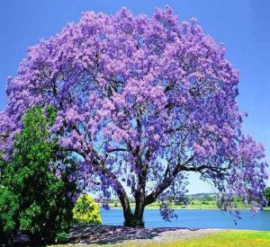 Jacaranda tree Source: pinterest.com