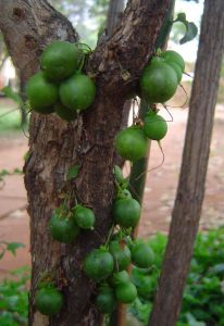 Halleria lucida fruit Photo: Bart Wursten, Mukuvisi Woodland. Source: Flora of Zimbabwe