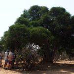 Boscia foetida subs rehmannia Shepherds tree Humani