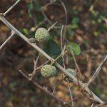 Maclura africana fruit