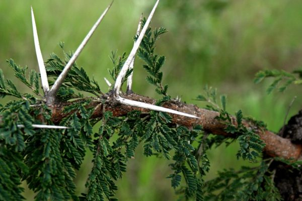 Vachellia gerrardii thorns Photo by Mark Hyde