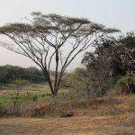 Acacia in Malilangwe