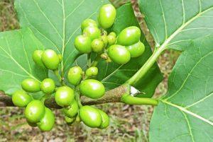 Afrocanthium lactescens