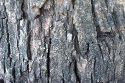 Bauhinia variegata bark