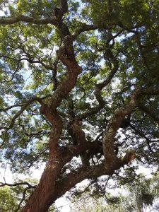A Big Musasa Tree Photo by Tony Alegria