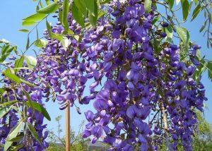 bolosanthus speciosus flowers