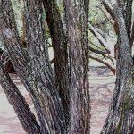 Bolosanthus speciosus trunk