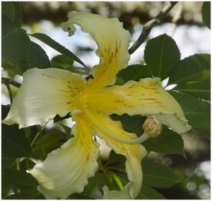 Ceiba insignis flower. Photo: Ryan Truscott