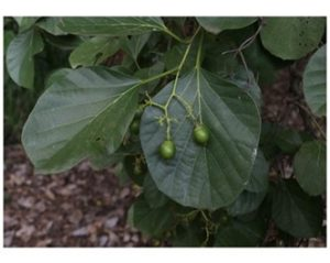 Cordia myxa leaves and young fruit. Photo: Mark Hyde