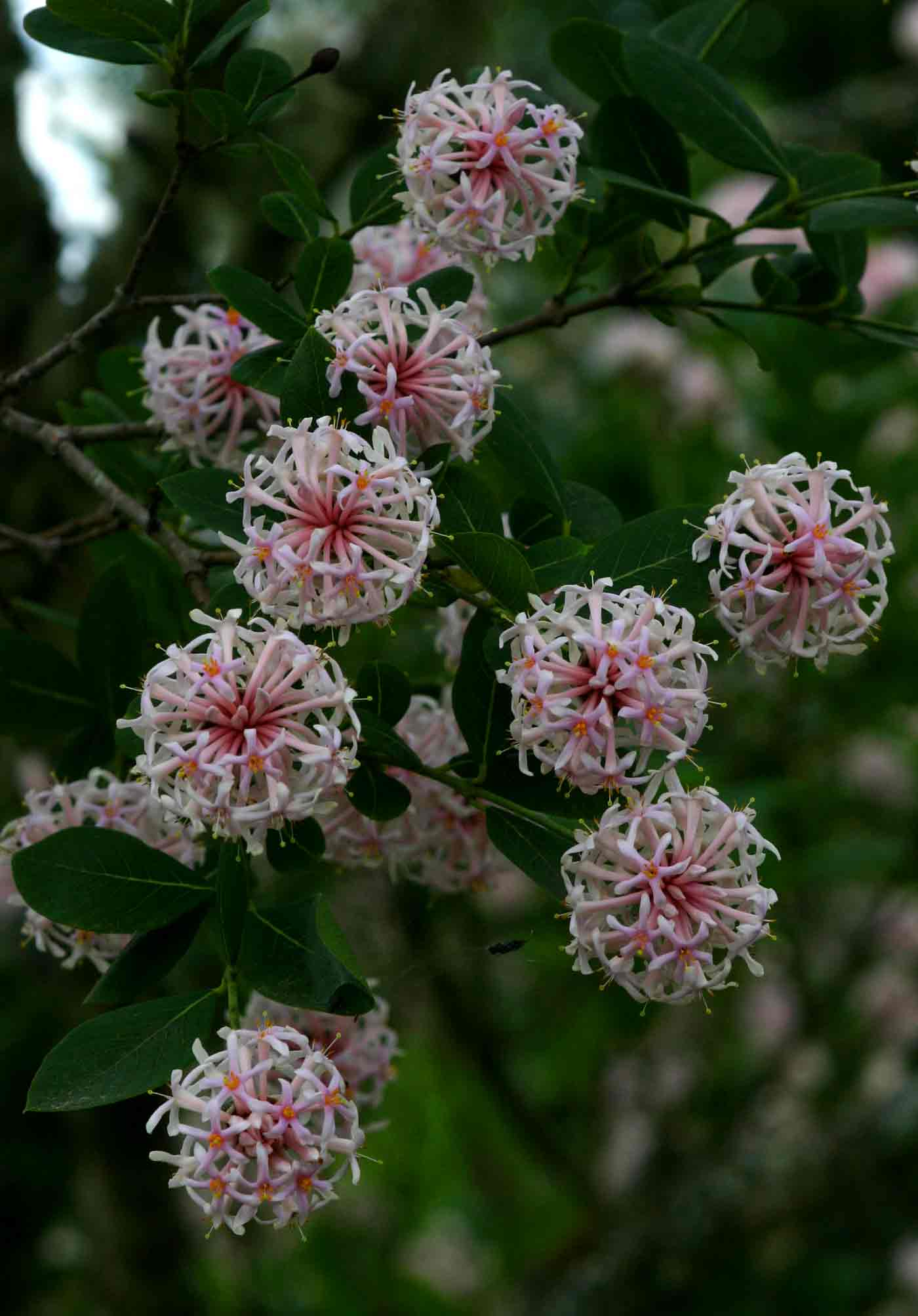 Dais continifolia Photo by Bart Wursten Flora of Zimbabwe
