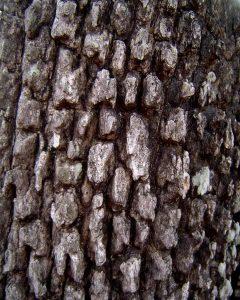 Diospyros quiloensis bark