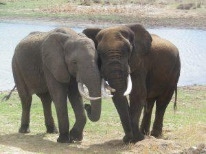 elephants at Imire