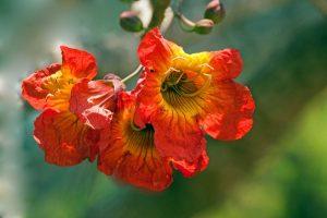 Fernandoa flower