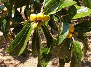 Ficus dicranostyla. Photo: Tony Alegria