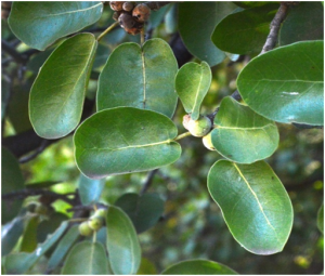 Ficus glumosa (Photo: Ryan Truscott)