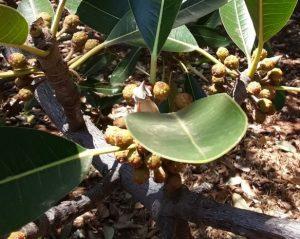 Ficus usambarensis. Photo: Tony Alegria