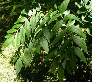 Fraxinus excelsior - the European Ash