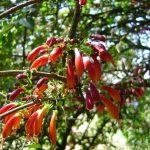 Halleria lucida flowers Photo: Bart Wursten. Source: Flora of Zimbabwe