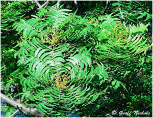 Harpephyllum caffrum leaves (source birdinfo.co.sa)