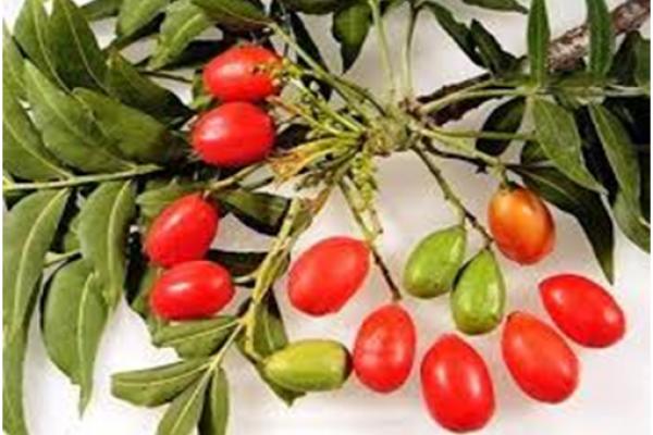 Harpephyllum caffrum.fruit (source: witbos.co.za)