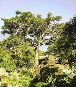 Paperbark albizia: Albizia tanganiensis