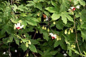 Triplochiton zambesiacus. Photo: Bart Wursten. Source: Flora of Zimbabwe