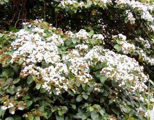 Cordia abyssinica. Photo: Bart Wursten. Source: Flora of Zimbabwe