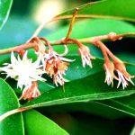 Mimusops zeyheri. Photo: Bart Wursten. Source: Flora of Zimbabwe