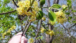 Ptaeroxylon obliquum. Photo: Bryan Orford. Source: Flora of Zimbabwe