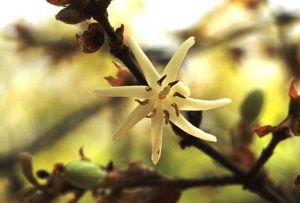Sericantha andongensis. Photo: Bart Wursten. Source: Flora of Zimbabwe
