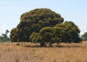 Parinari curatellifolia, Photo: Bart Wursten. Source: Flora of Zimbabwe.