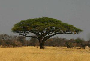 Acacia erioloba. Photo: Bart Wursten. Source: Flora of Zimbabwe