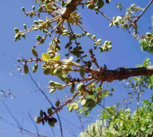 Lannea discolor. Photo: Bart Wursten. Source: Flora of Zimbabwe.