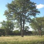 Colophospermum mopane. Photo: Bart Wursten. Source: Flora of Zimbabwe.