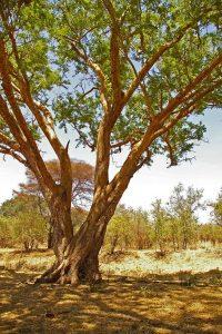 Acacia sieberiana. Photo: M.Coates Palgrave. Source: Flora of Zimbabwe