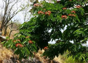 Albizia gummifera. Photo: Bart Wursten. Source: Flora of Zimbabwe