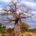 Adansonia digitata: Photo: Bart Wursten. Source: Flora of Zimbabwe