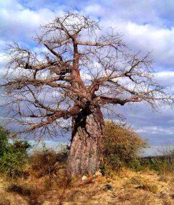 Adansonia digitata: Photo: Bart Wursten. Source: Flora of Zimbabwe