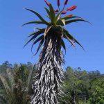 Aloe excelsa. Photo: Bart Wursten. Source: Flora of Zimbabwe.