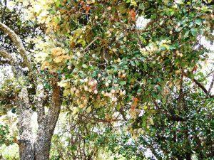 Parinari curatellifolia. Photo: Rob Burrett. Source: Flora of Zimbabwe