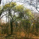 Boscia salicifolia, wilowl-leafed Shepherds-tree