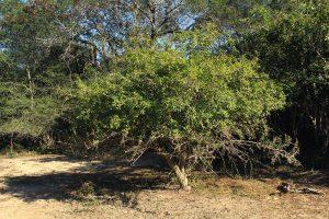 Gardenia volkensii. Photo: Bart Wursten. Source: Flora of Zimbabwe