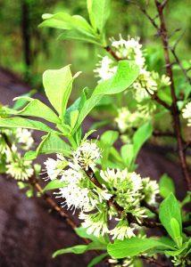 Pavetta schumanniana. Photo: Bart Wursten. Source: Flora of Zimbabwe
