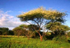 Acacia tortilis. Photo: Bart Wursten. Source: Flora of Zimbabwe