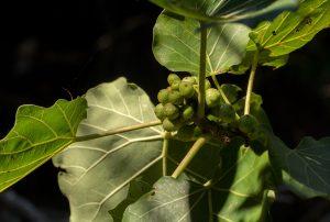 Ficus abutilifolia. Photo: Bart Wursten. Source: Flora of Mozambique