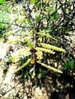 Acacia chariessa. Photo; L. E. Lauritsen. Source: Flora of Zimbabwe
