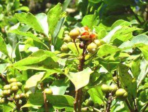 Pittosporum viridiflorum. Photo: Bart Wursten. Source: Flora of Zimbabwe
