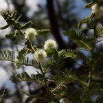Acacia rehmanniana. Photo: Bart Wursten. Source: Flora of Zimbabwe.