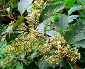 Maesa lanceolata. Photo: Bart Wursten. Source: Flora of Zimbabwe