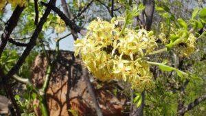 Ptaeroxylon obliquum. Photo: Brian Orford. Source: Flora of Zimbabwe